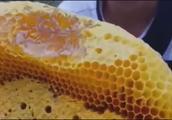 哪里能买到无刺蜜蜂蜂王