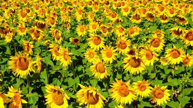 有关于向日葵的古诗!