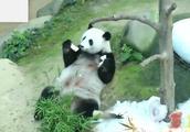 因开销太大,马来西亚将大熊猫退还中国!
