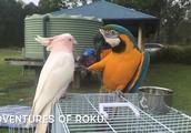 家里有多少钱才敢这样玩,国外金刚鹦鹉放飞聚会视频