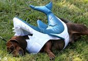 美国加州灰狗狗万圣节化装比赛