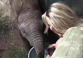 《动物世界》喂获救的象宝宝喝奶,太感动了