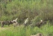 不要小看非洲野狗 组团狩猎个羚羊啥的都不是问题