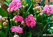 养长寿花有妙招,只要你照着做,一准让它花开爆盆!