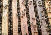 蜂箱里面有水珠是怎么回事?对蜜蜂有影响吗?老蜂农告诉你答案