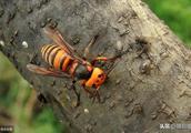 危害蜜蜂的胡蜂有哪些?如何防治?详细防治措施全在这里