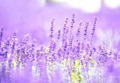 薰衣草以特殊的香味和美丽的梦幻紫让人梦回牵绕