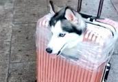 网友带哈士奇坐动车,做了一个狗头行李箱,哈士奇的反应令人笑喷