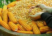 透视︱种一地玉米,却被判赔种业公司15万,农民自繁自用缘何侵权