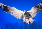 荷兰海岸发现死海鸥,数量达2万只,死因暂未知