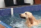 金毛学游泳,店主气的送上一包狗粮,倒找钱哭求铲屎官把狗带走