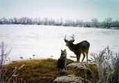 哈士奇离家出走不归,主人费心找回爱犬后,发现原是在和雄鹿玩耍