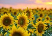 向日葵每天迎着太阳,你种过吗?带你了解向日葵的故事