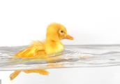 世说新语——丑小鸭的故事(动物世界的法律)