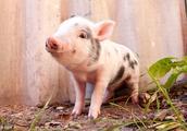 生肖猪2月