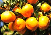 柑橘受锈壁虱侵害,要怎么样防治?