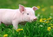 生肖猪:不服不行,生来不一般,未来生活幸福无比