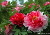 心理测试——凭感觉选一朵漂亮的牡丹花,测你的晚年生活是否操劳~