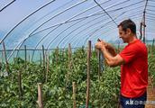 植保:今年番茄问题多,凸显抗逆是关键!菜农朋友要谨记!