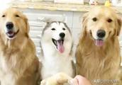 """""""穷养儿,富养女""""用在狗狗身上之后,大金毛好委屈!"""