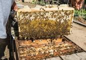 冬季!蜜蜂越冬如何管理?两种方式预防,不后悔的来看看!