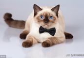 古老而神秘的暹罗猫,原来在神话中还有这样的故事!你听说过吗?