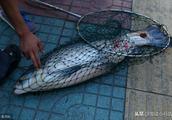 螺蛳壳很坚硬,青鱼是怎么吃它们的呢?青鱼的口中真的有宝石吗?