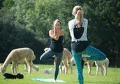 农场推出新服务,与羊驼一起做瑜伽,让你体验满满的治愈感