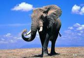 或因偷猎造成物种演变 非洲大象停止长牙