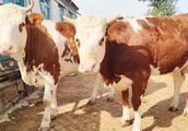 中国农村老百姓养牛莫入误区 一旦进入误区就会造成非常严重损失