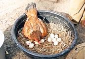 鸡生蛋蛋生鸡,看母鸡孵化小鸡全过程,一分钟解读