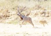 狮子偷袭羚羊,羚羊感觉不对劲转身就跑,镜头拍下全过程