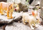 森林之王老虎追捕猎野兔子