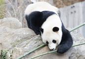 国宝就是贵,只要租借大熊猫的,必须遵守这项霸王条款?