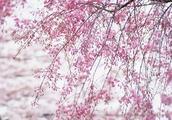 中国樱花产业100强,你在榜上吗?