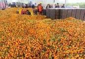 广西柑橘堆积国道,北方的萝卜白菜烂地里,受伤的怎么都是农民