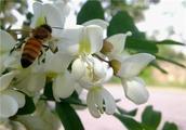 新鲜槐树花怎么做好吃