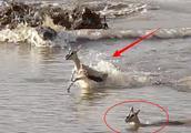 母爱不分物种!小羚羊过河被鳄鱼盯上,妈妈冲入水中当诱饵