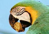 """""""鸟中吃货""""金刚鹦鹉为啥百毒不侵?看完涨知识了"""