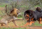 凶猛无比的藏獒真打得过老虎吗?看看差距就知道了
