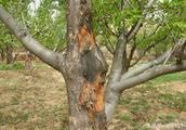 推荐一个新型防治果树腐烂病,效果最好最权威的药剂