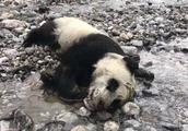 专家再谈四川大熊猫幼仔溺亡:系自然界正常事,须防有人捕猎误伤