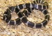 21岁女孩网购银环蛇当宠物被咬 医院宣布已脑死亡