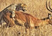 实拍猎豹高速捕杀羚羊,不槐是速度之王