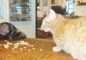 猴哥悠哉悠哉的嗑干果,猫咪只能干看着,隔着屏幕都能感觉到尴尬