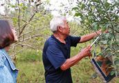 苹果熟了:一亩投资1千,净赚多少?果农大爷气的要砍树