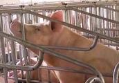 农业农村部:防控非洲猪瘟疫情 12月1日起生猪运输有变化