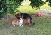 柯基和德国牧羊犬是好朋友,却因为一件小事情,而差点反目