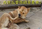 中华田园犬阿黄畅游沼泽,回来后腿奇痒难止啃个不停,真够倒霉的