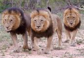 """狮子间的""""爱恨情仇"""",雄狮掌管一个狮群,真的太不容易了"""